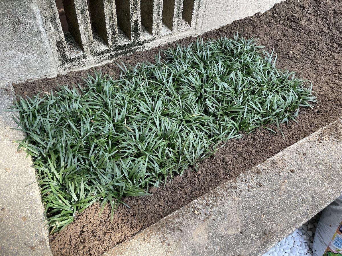 植えた後の玉竜マット