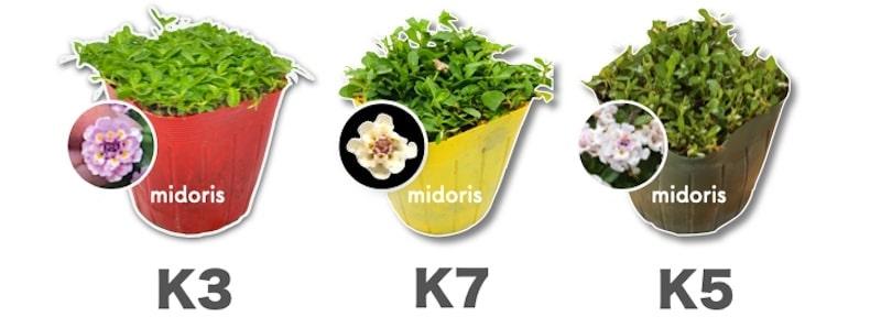 クラピア3品種K7、K5、K3の画像