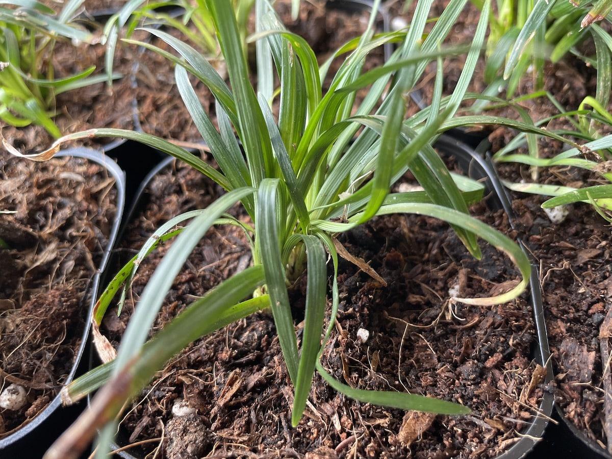 タマリュウ(玉竜)の増やし方 ポットに植える
