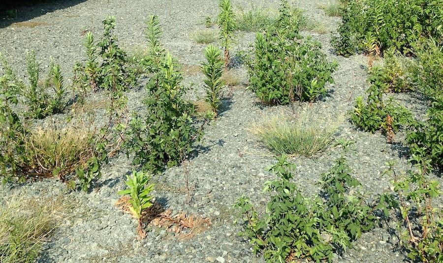 防草シートと砂利の組み合わせで生えてしまった雑草