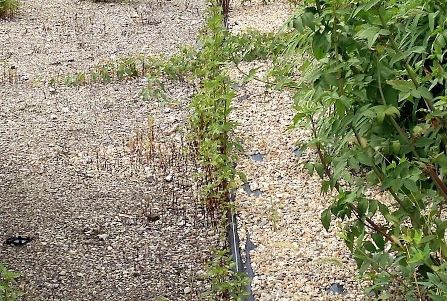 防草シートと砂利の継ぎ目から生えた雑草