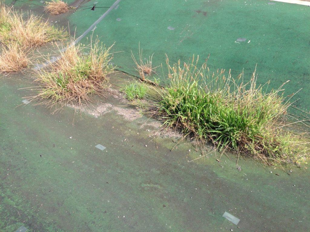 防草シートから生えた雑草
