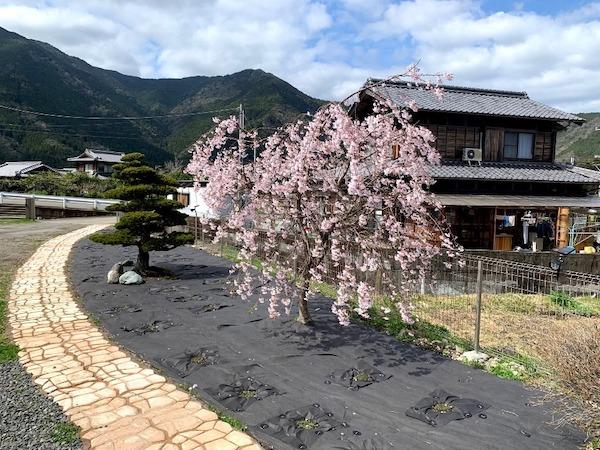 クラピアK7を植えたお庭と桜の写真