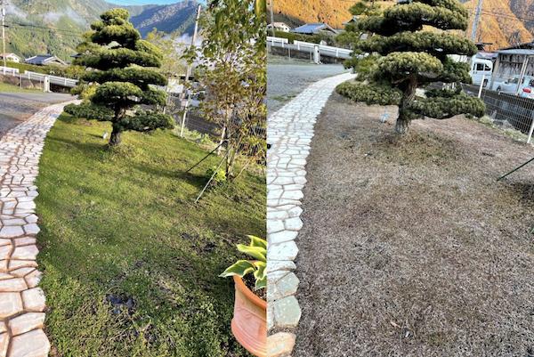 シートを併用したクラピアK7のお庭写真 冬と春の様子