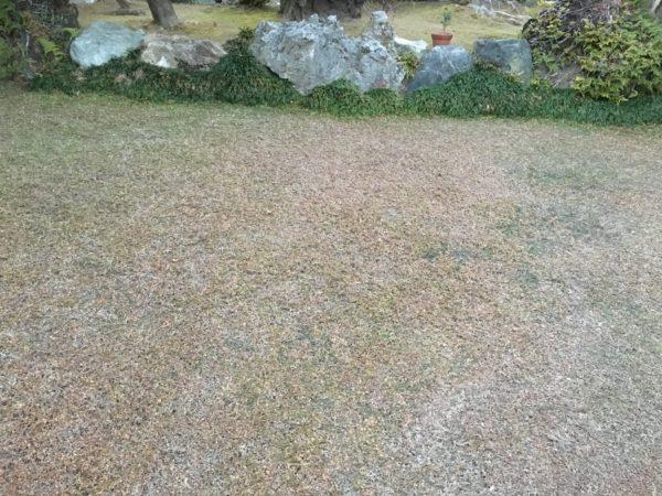 クラピアK7を植えたお庭の写真 冬枯れの様子