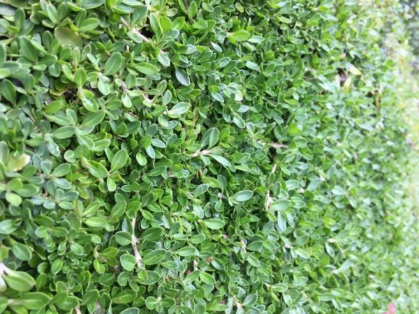 クラピアK7を植えたお庭の写真のアップ