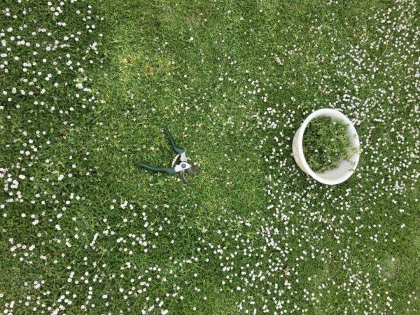 クラピアK7をお庭に植えて刈り込みをした様子