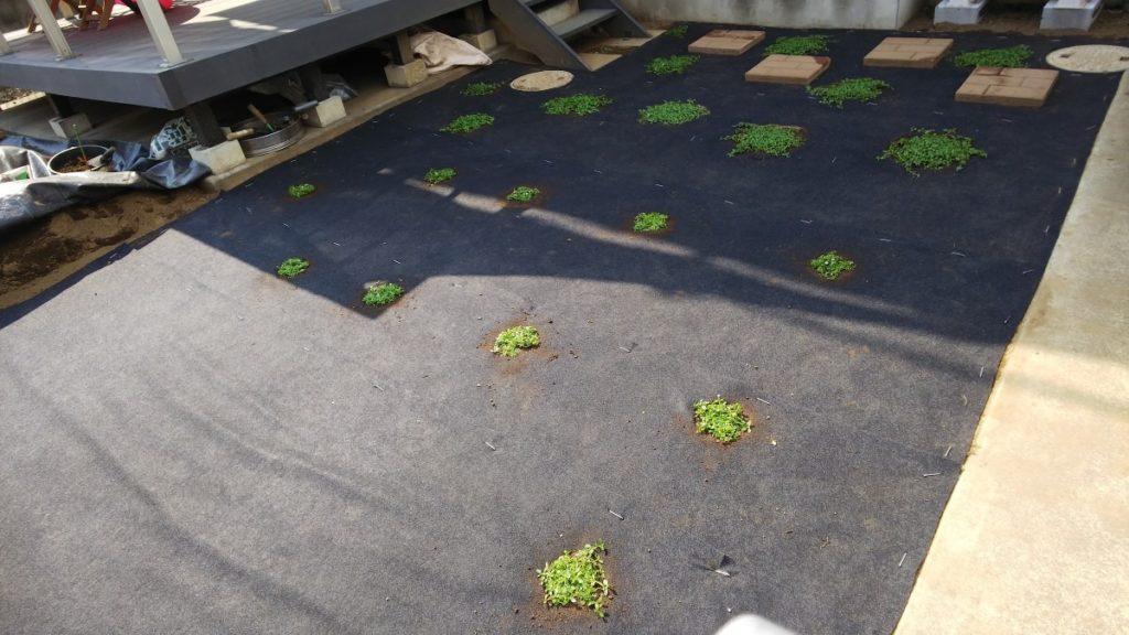 クラピアを植えたお庭の写真 植栽シート併用
