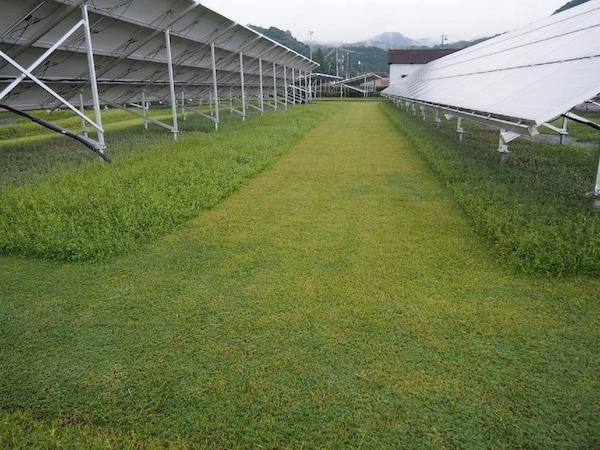 クラピアK5を植えた太陽光発電所の様子