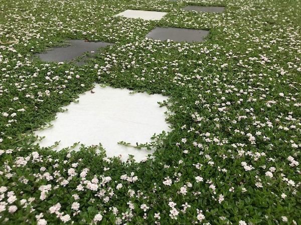 クラピアK7がお庭一面に広がった写真 お花満開