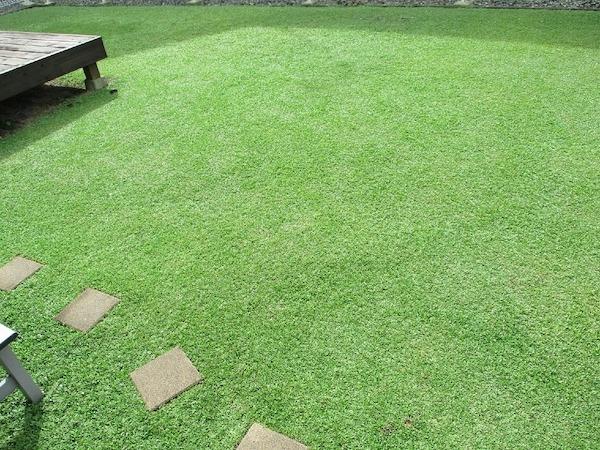 クラピアK7がお庭一面に広がった写真