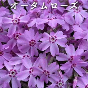 芝桜(シバザクラ)オータムローズ