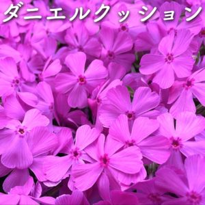 芝桜(シバザクラ)ダニエルクッション