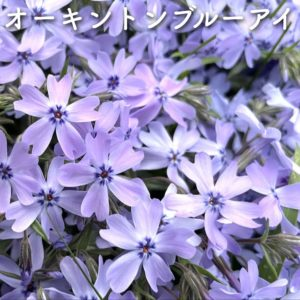 芝桜(シバザクラ)オーキントンブルーアイ
