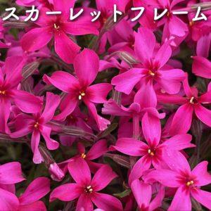 芝桜(シバザクラ)スカーレットフレーム