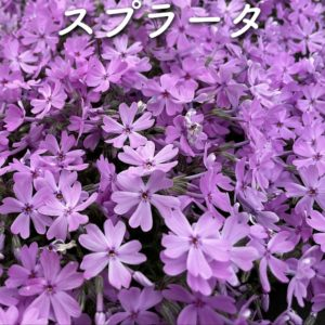 芝桜(シバザクラ)スプラータ