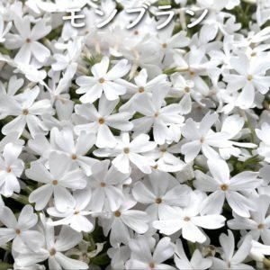 芝桜(シバザクラ)モンブラン