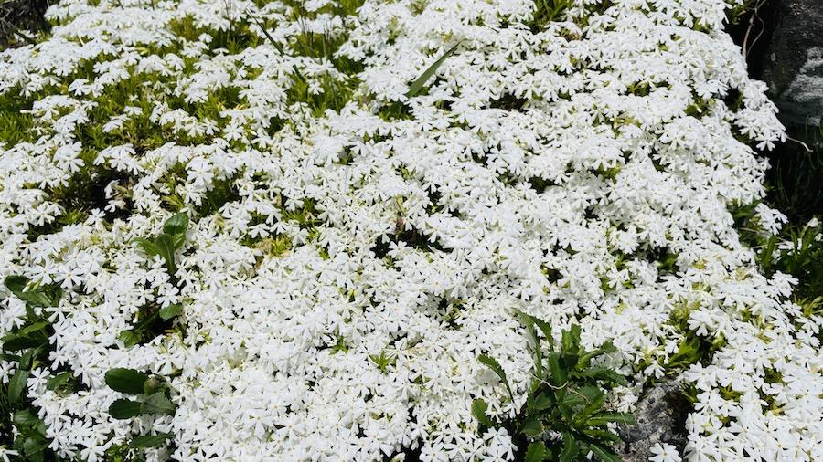 お庭に咲いた芝桜(シバザクラ)のモンブラン