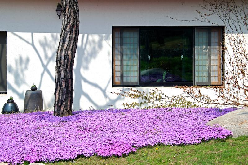 お庭に咲いた芝桜(シバザクラ)