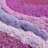 芝桜(シバザクラ)のグラデーション