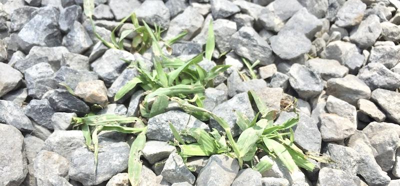 砂利に生えた雑草