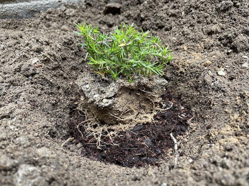 芝桜(シバザクラ)を穴に入れる