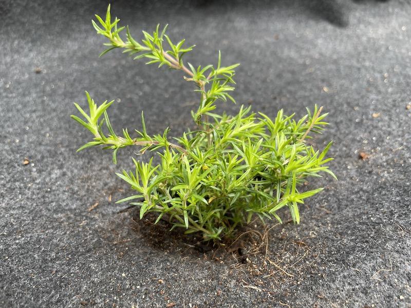 植え付け後の芝桜(シバザクラ)
