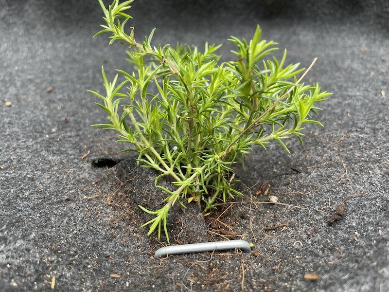 芝桜(シバザクラ)の隙間から雑草が生えないようにピンを打つ