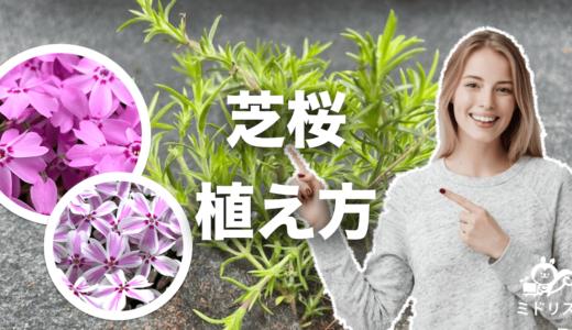 芝桜の植え方|地植え・鉢植え・シートの各植え方を写真付き解説!